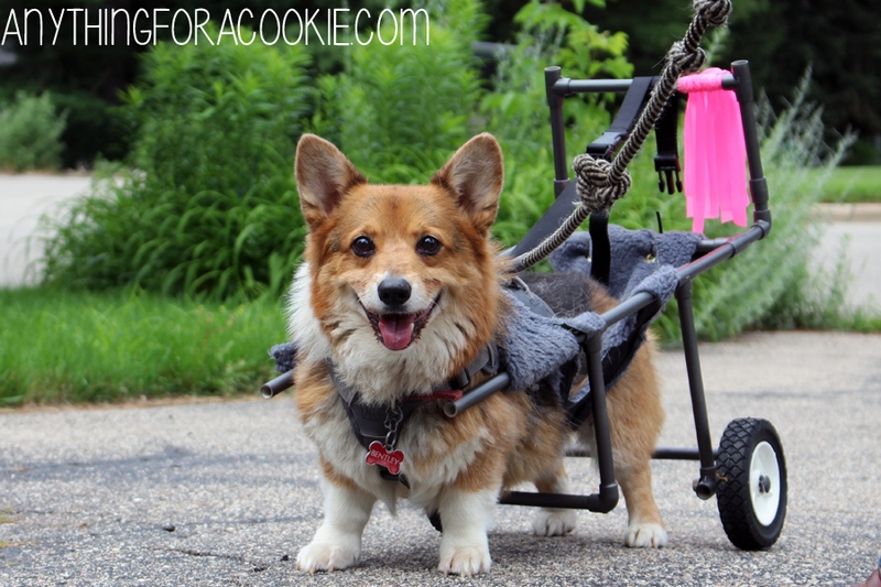 wheelchair-for-disabled-corgi-bentley-09