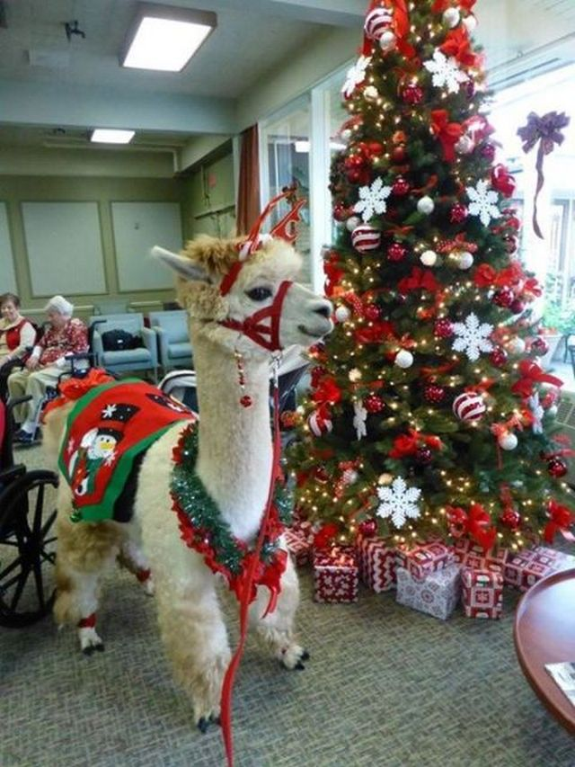 napoleon-the-christmas-alpaca-06